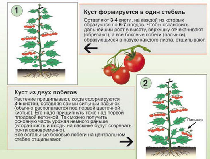 What early tomato varieties to choose? The best fruit varieties for