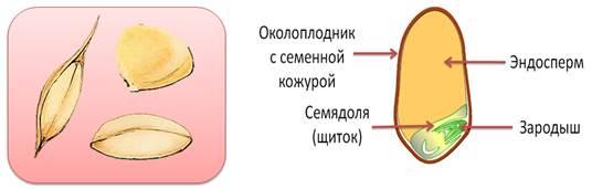 Основную часть зерновки злаков занимает питательная ткань